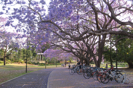 Jacaranda bloom on St Lucia campus