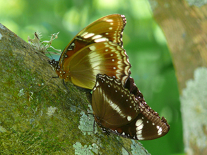 Mating couple of Hypolimnas bolina: This tropical butterfly is infected by at least two strains of Wolbachia. © Jan Engelstädter