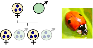 Male-killing: infected males are killed as embryos, e.g. in ladybird beetles